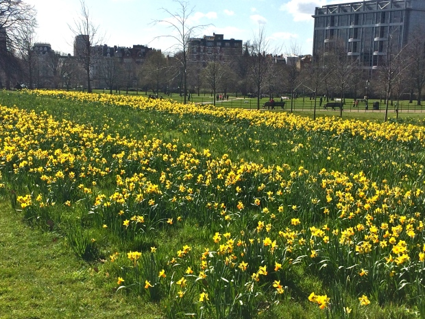 daffodil hyde park